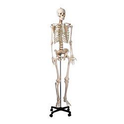 Скелет человека смонтированный ( на роликовой подставке)